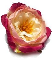 Голова пионовидной розы шелк 6 сл. диам. 13 см